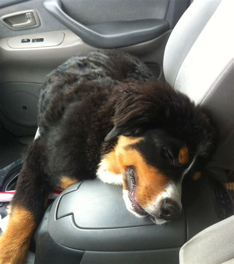 how far apart can puppies be born fundraiser by michael kling save axel the bernese mountain