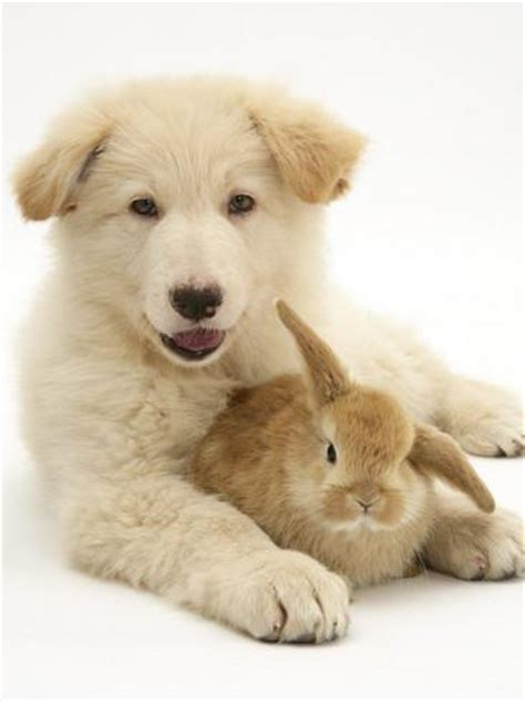 bunnies and puppies domestic puppy canis familiaris with bunny photographic