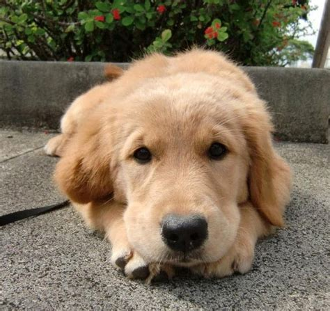 baby golden retriever puppies for sale cheap 17 best images about golden retriever puppies on puppys and so
