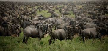 Comfort Air Reviews East Africa S Wildebeest Migration Made Simple L Ultimate