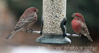northern illinois birder house finch northern illinois