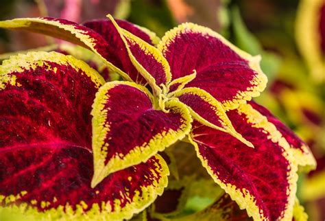 coleus the garden of eaden