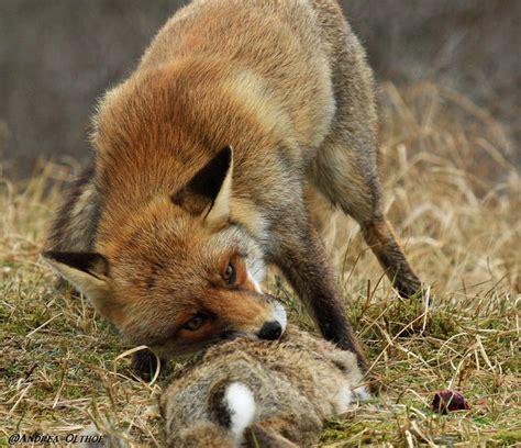 eat cat fox cat for