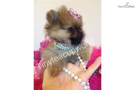 teacup teddy puppies teacup pomeranian puppies designer teddy bears 5 pounds gr breeds picture