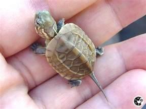 baby turtle cuties baby turtles turtle