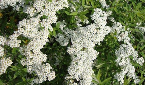 cespugli fiori bianchi fiori bianchi da giardino idee green
