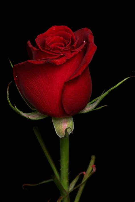 imagenes de rosas rojas descargar gratis 20 im 225 genes de rosas rojas hermosas para descargar gratis