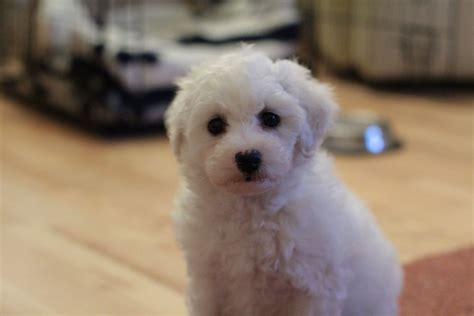 bichon poodle lifespan bichon frise expectancy 21 background wallpaper