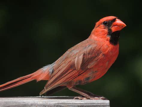 cardinal bird wikiwand