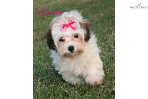 baby havanese puppies havanese puppy for sale near rock arkansas fb262c32 1801