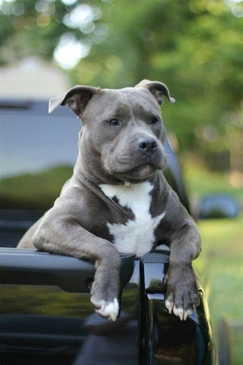 pitbulls are good dogs tumblr