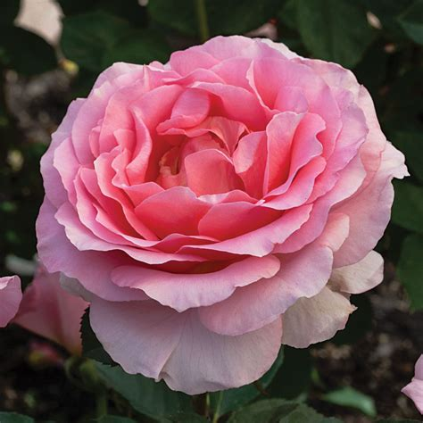 rose s dr jane goodall hybrid tea rose