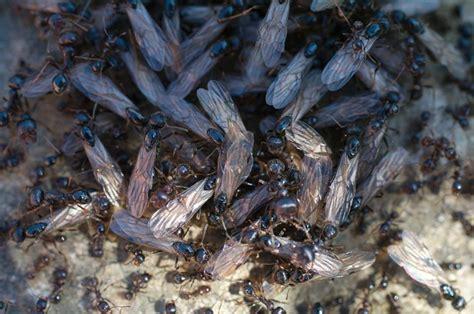 formiche volanti vogliaditerra photoblog 187 archive 187 formiche alate