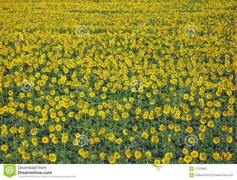 semi prato fiorito prato fiorito con i girasoli gialli fotografia stock