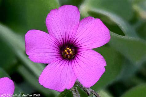 fiore trifoglio fiore di trifoglio fare di una mosca