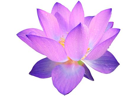 Purple Lotus Coupons Winter Snow Clipart 2123483