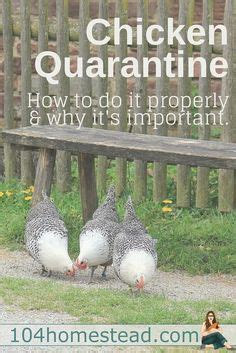 Backyard Chickens Safety 1000 Images About Homestead Chickens On
