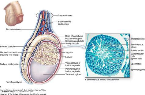seminiferous tubules diagram anatomy education geoface page 122