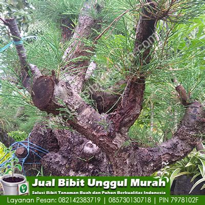 Jual Bibit Bonsai Maple jual koleksi tanaman bonsai cemara agro bibit id