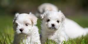 Light Shedding Dogs Maltese Information Characteristics Facts Names
