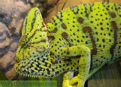 veiled chameleon colors healthy colors for chameleons my pet chameleon