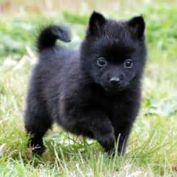 schipperke pomeranian mix baby schipperke pomeranian mix animals