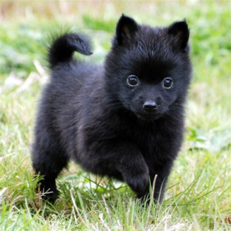 schipperke and pomeranian the gallery for gt black lab puppies with blue