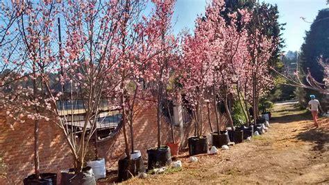 imagenes cerezo japones cerezo japones cherry blossom prunus serrulata 4 metros