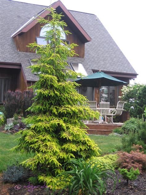 Landscaping Ideas Evergreen Shrubs Best 25 Evergreen Ideas On Sun Shrubs