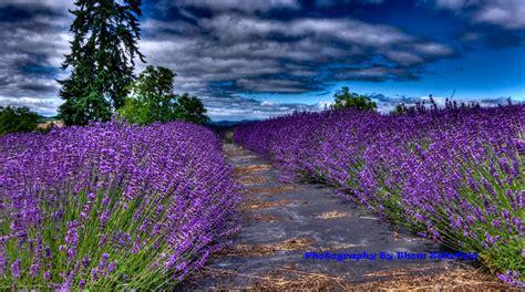 thom zehrfeld photography woodland lavender