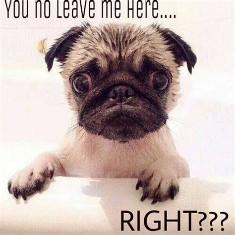 Cute No Meme - funny pug dog meme pun lol pugs pinterest pets