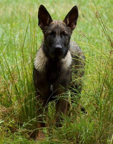 german shepherd puppies ny german shepherds nyc akc german shepherds middletown ny german shepherd breeder ny