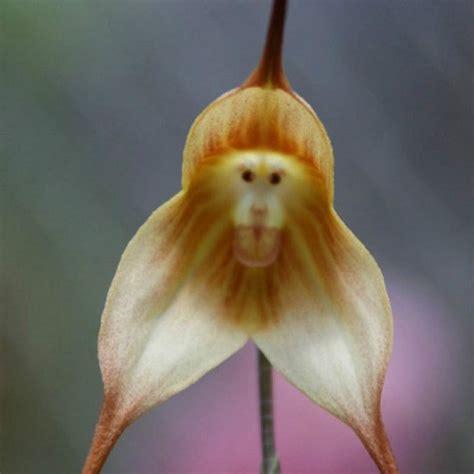 Affen Orchidee Kaufen by G 252 Nstig Kaufen 10stk Dracula Simia Affe Orchidee Samen