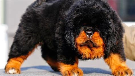 expensive dogs the 10 most expensive breeds in the world 2016