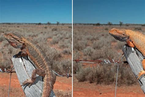 bearded color change lizards keep it local when it comes to colour change