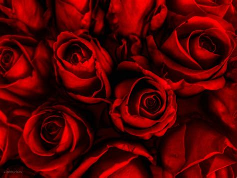 wallpapers red rose wallpapers 74 rose wallpaper for hd download