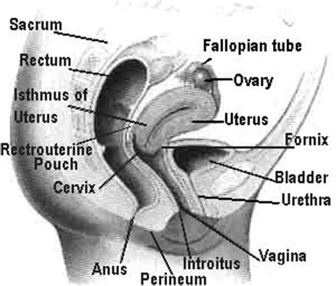 cross section of vagina errr sex education ahmad hisyam