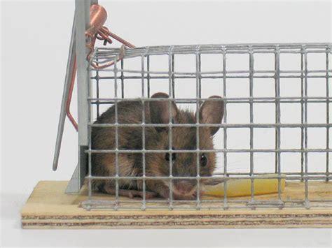 Maus In Falle by S 252 223 E Maus In Der Falle Foto Bild Tiere Tier Und