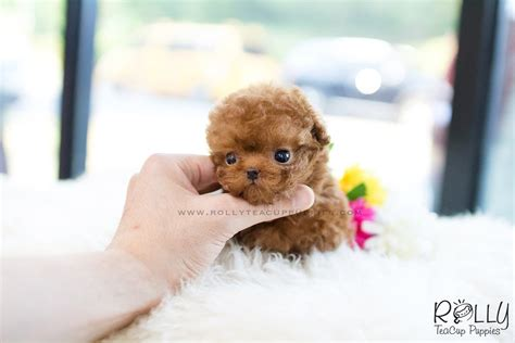 rolly teacup puppies for sale sold to poodle f rolly teacup puppies