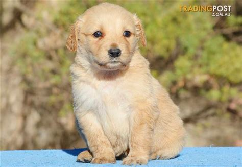 golden retriever x poodle puppies standard groodle golden retriever x poodle puppies for sale in hoppers crossing vic