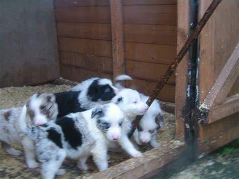 blue merle collie puppies for sale merle and blue merle border collie puppies high peak derbyshire pets4homes