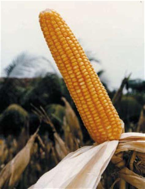 Bibit Jagung Hibrida Bisi 2 jenis dan klasifikasi jagung di indonesia arifin budi