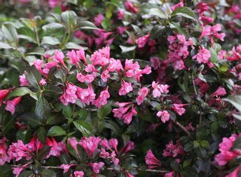 purple leaf shrub with pink flowers weigela florida quot minor black quot compact rounded deciduous