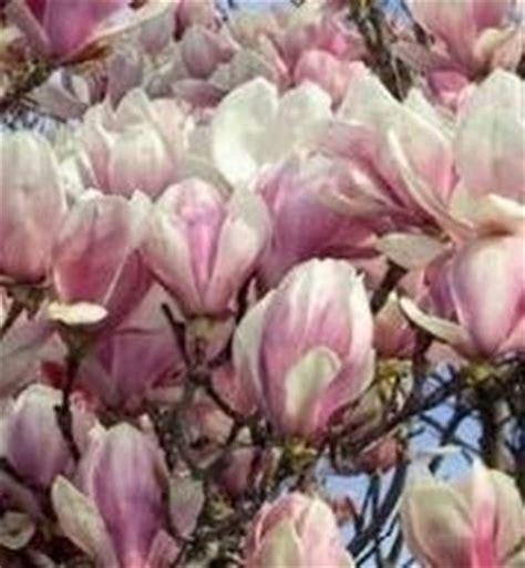 magnolia in vaso domande e risposte giardino