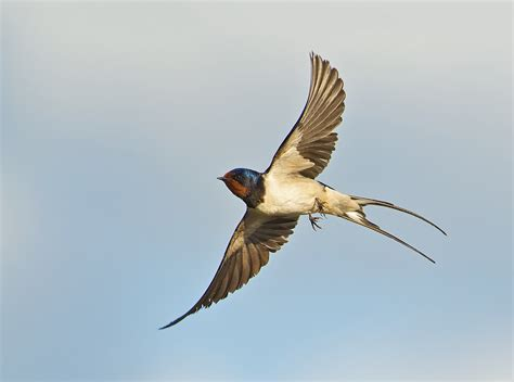 flying barn swallows www imgkid com the image kid has it