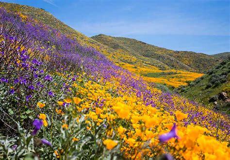 california desert flowers desert wildflower reports for southern california by desertusa