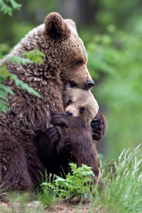 day bears grizzly bears hug mothers day bears cubs big bears