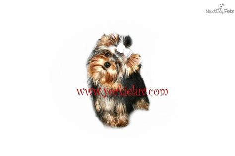 yorkie puppies tails puppies for sale from wagin tails yorkies nextdaypets