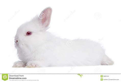 12 Md Rabbit Bery White profile of a white rabbit 5 weeks stock photos image 9893143