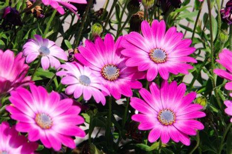 fiori per aiuole estive osteospermum fioritura estiva pollicegreen
